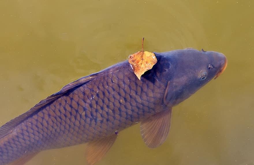 caro fish