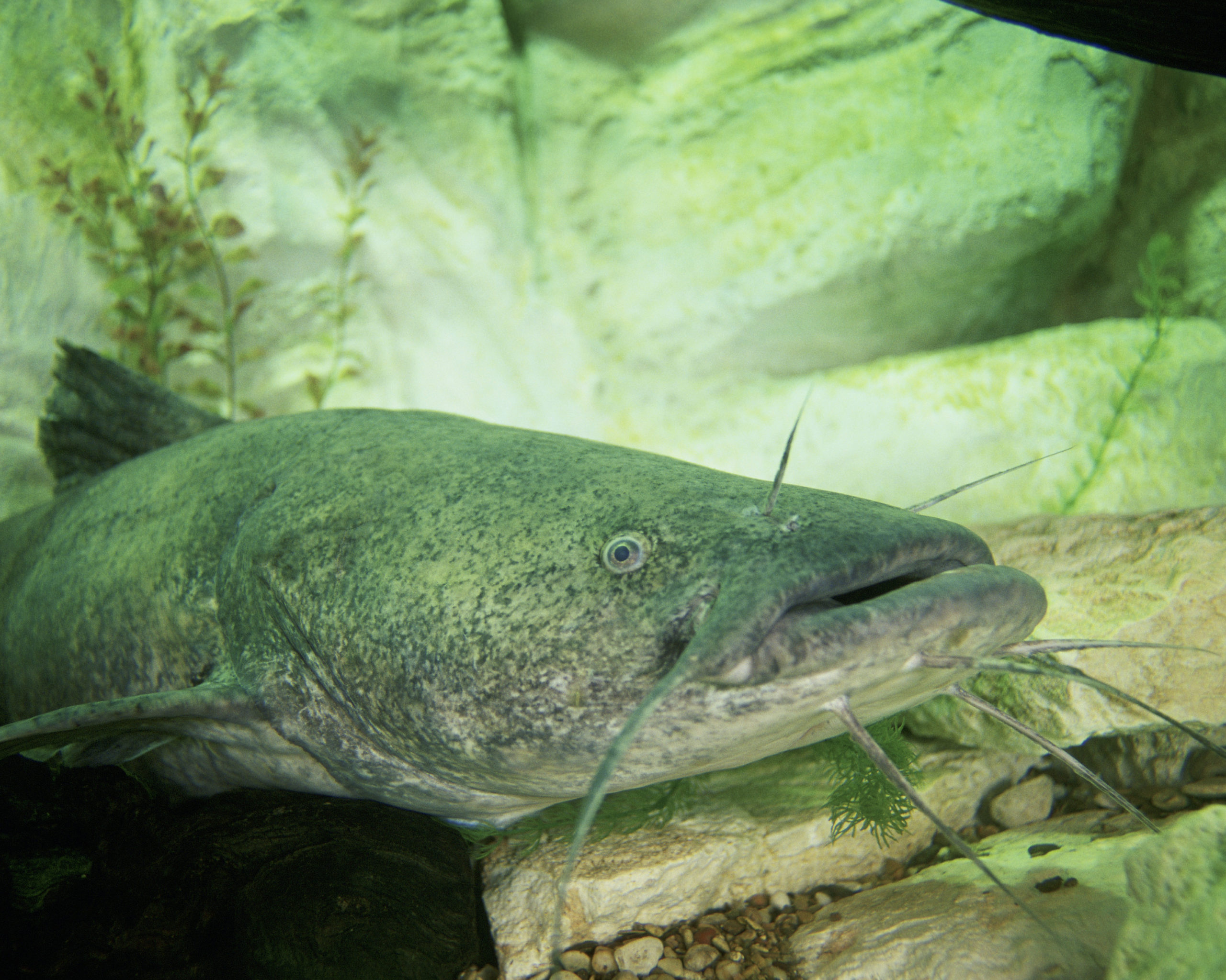 Flathead Catfish1