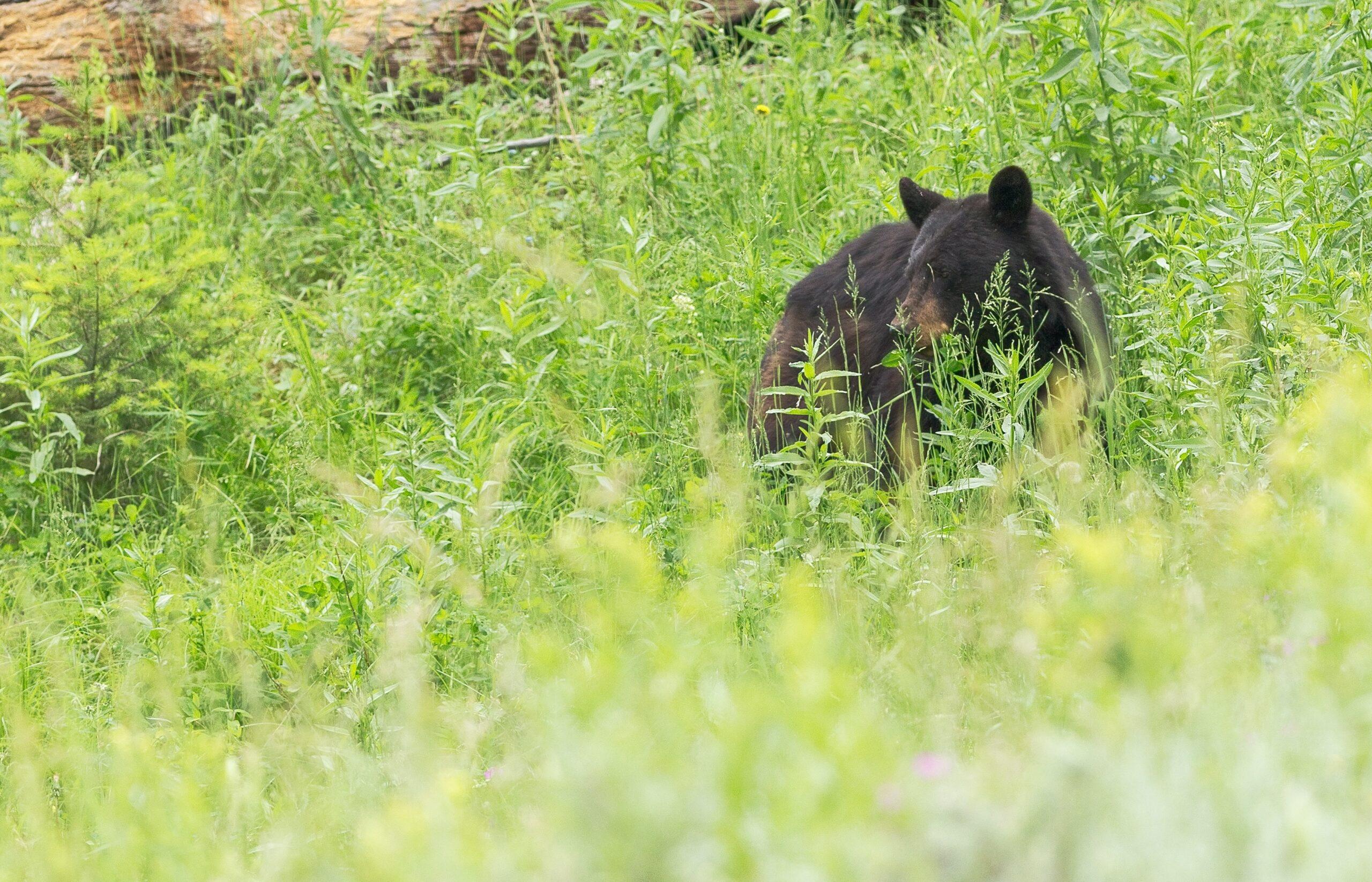 brown sun bear on green field during daytime