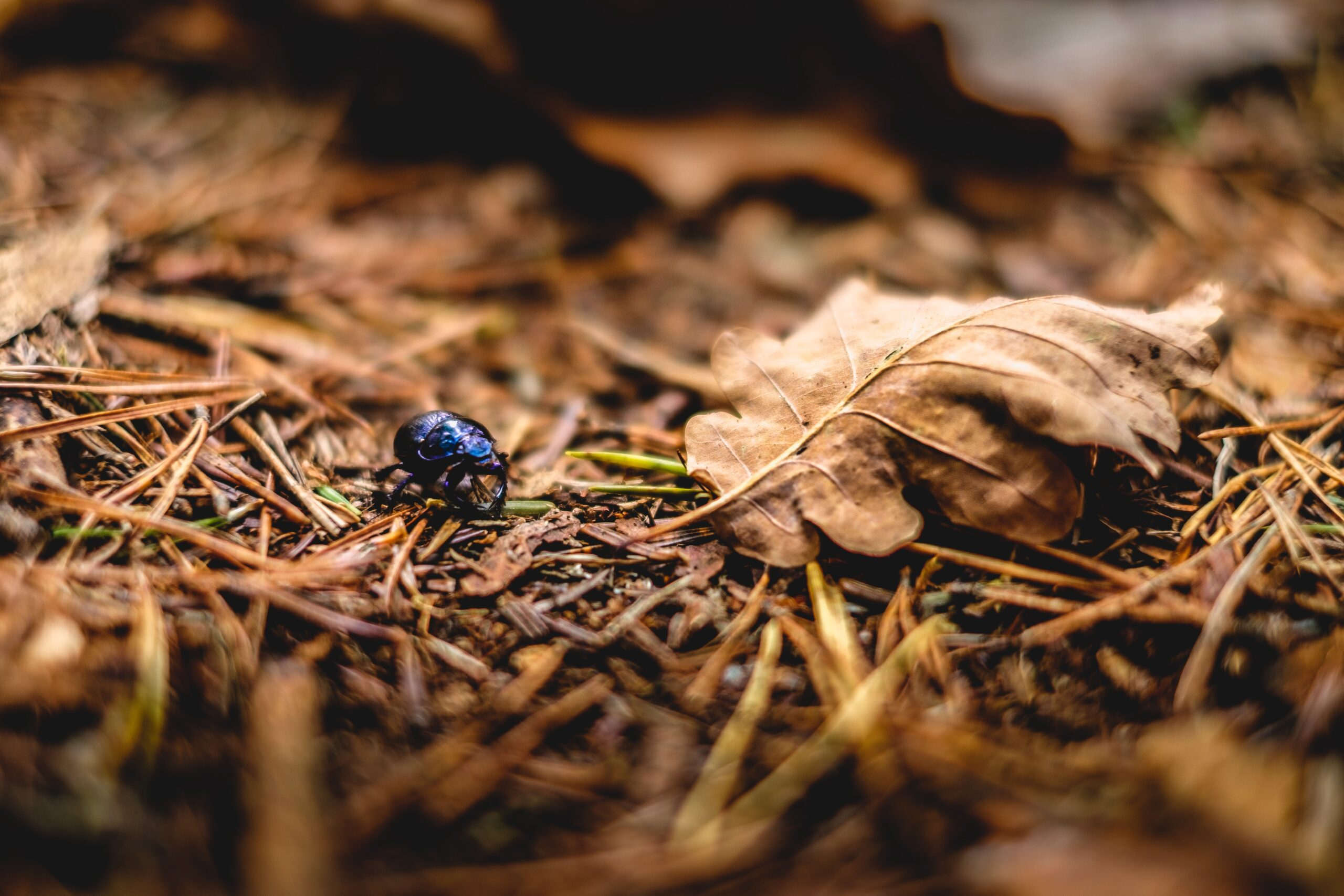 blue bug near brown leaf in tilt photography