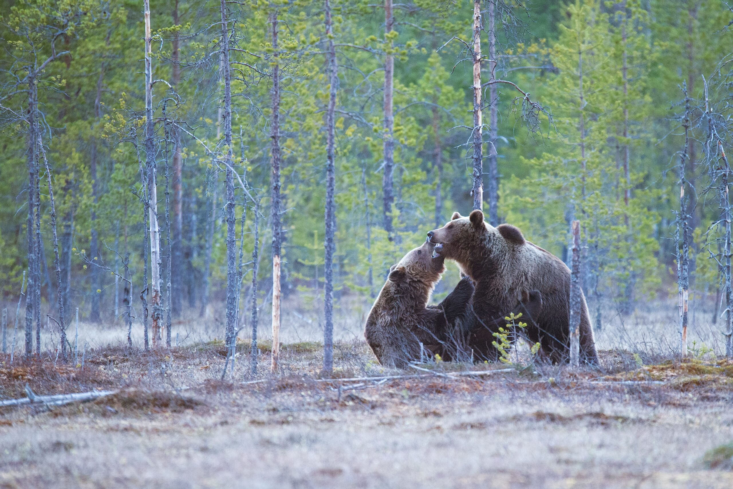 two brown bears on forest
